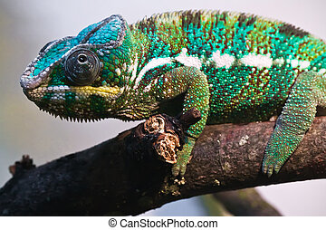 Panther chameleon - Beautiful close up photo of lizard...