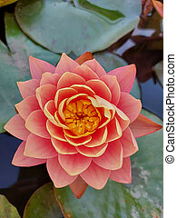 Beautiful close up pink water lily flower on a background of green leaves, illuminated by the morning sun.