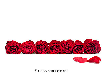 beautiful close-up red rose over white background