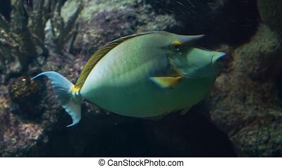 beautiful closeup of a bluespine unicorn fish swimming under water, tropical fish specie from the indo-pacific ocean