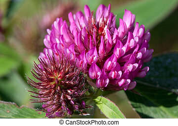 Beautiful clover are blooming on a green meadow. Live nature.