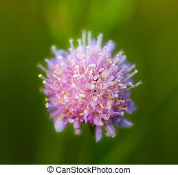 clover flower with dew drops
