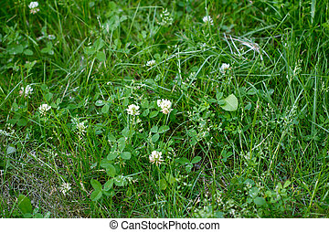 beautiful clover flowers in nature