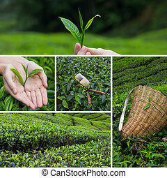 Beautiful collage of tea bushes on plantation and hand harvesting