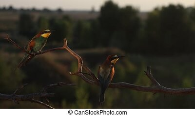 beautiful colored birds bee-eater sits on a branch and squeaks , wild nature