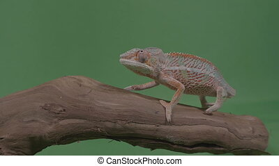 Beautiful colored chameleon sitting on a branch studying the...