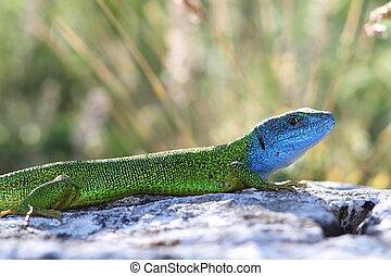 beautiful colored male green lizard