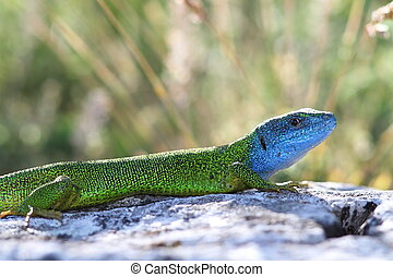beautiful colored male green lizard