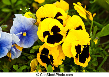 Beautiful colored pansy flowers