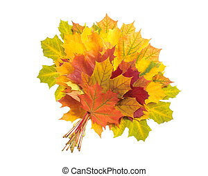 Beautiful colorful autumn maple leaves isolated on white background