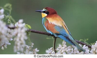 beautiful colorful bird sits among flowering branches , ...