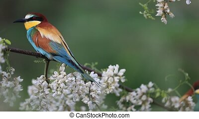 beautiful colorful birds sit among flowering branches , ...