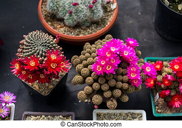 Beautiful colorful blooming cactus flower plants, orangery greenhouse