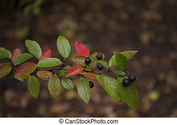 Beautiful colorful branch of shiny cotoneaster - Beautiful...