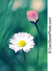 Beautiful colorful daisies in green grass