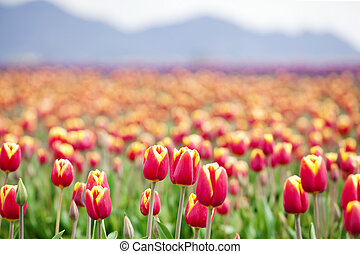 Beautiful colorful field of tulips