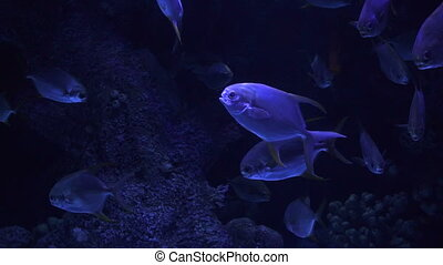 Beautiful colorful fish swim in the aquarium among corals.
