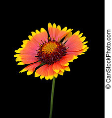 Beautiful colorful flower isolated on a black background