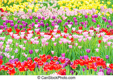 Beautiful colorful flowerbed of tulips
