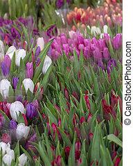 Beautiful colorful fresh tulips