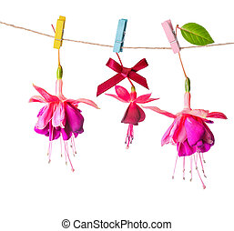 beautiful colorful fuchsia flowers handing on rope with clothespin is isolated on white background, close up