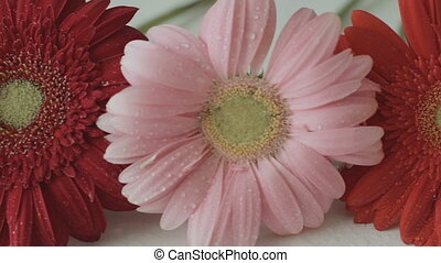 Beautiful colorful gerbera with water drops on white table.