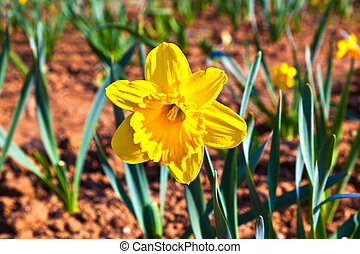 beautiful colorful meadow with blooming daffodils