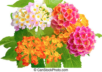 beautiful colorful of Lantana camara flower with drops is isolated on white background, closeup