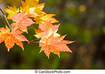 colorful orange and golden maple leaves on green background