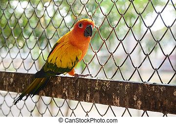 Beautiful colorful parrot, Sun Conure (Aratinga solstitialis)