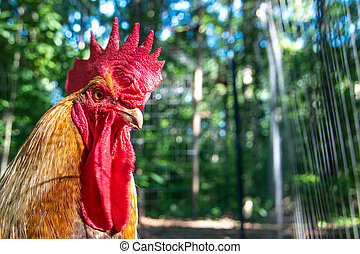 beautiful colorful portrait of a rooster near chicken coop