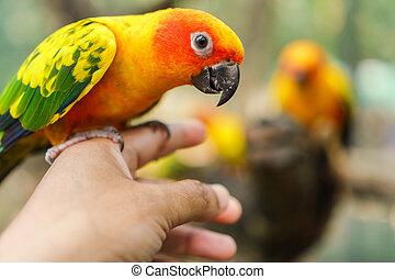 Beautiful colorful sun conure parrot birds on hand