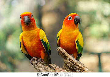 Beautiful colorful sun conure parrot birds on the tree branch