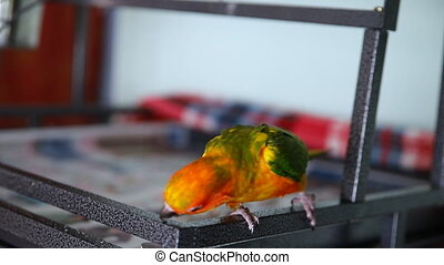 beautiful colorful sun conure wild parrot eating cookie Cute...
