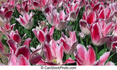Beautiful colorful tulips