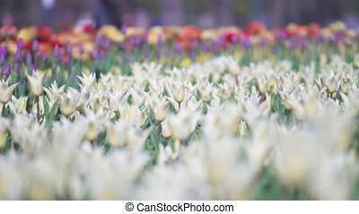 beautiful colorful tulips flowers bloom in spring garden. Decorative tulip flower blossom in springtime. Beauty of nature and vibrant color