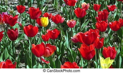 Beautiful colorful tulips - Beautiful colorful spring tulips...