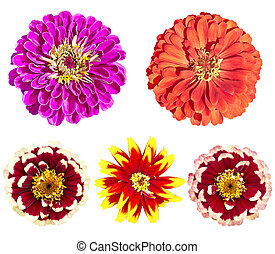 Beautiful colorful zinnia elegans flowers in bloom on white background