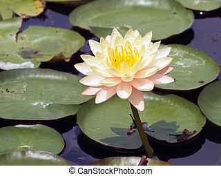 Beautiful colors of the lotus