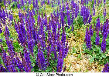 Beautiful colors purple lavender flowers in garden.