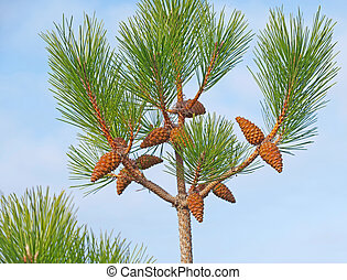 Beautiful cones on a branch