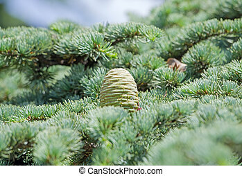 Beautiful cones on branch