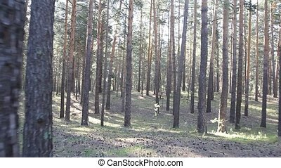Beautiful coniferous forest, steadicam shot.
