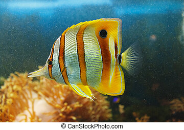 Beautiful Coperband butterfly (Chelmon rostratus) also known as Beaked butterflyfish, Beaked coralfish in ocean among coral reefs