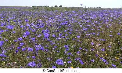 beautiful cornflower bluet field