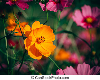 beautiful cosmos flower blooming in the field