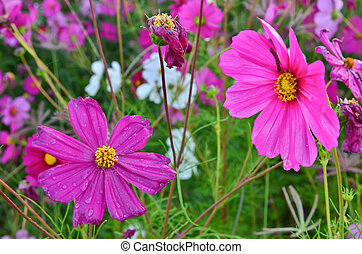 Beautiful Cosmos flowers in the field