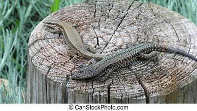 Beautiful Couple of Lizard Sunbathing on the Wooden Pole,...