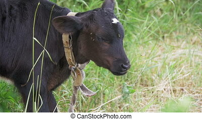 Beautiful Cow Grazing in a Meadow near the Village. Slow Motion