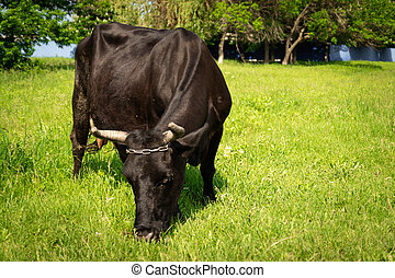 Beautiful cow on the field or eating green grass on a sunny day